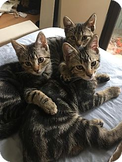 Domestic Shorthair Kitten for adoption in Los Angeles, California - Teeny