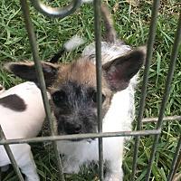 Adopt A Pet :: Dannie in Collinsville, TX - Dallas/Ft. Worth, TX