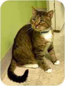 Domestic Shorthair Cat for adoption in Marietta, Georgia - Alvin