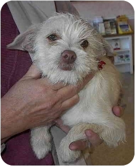 Terrier (Unknown Type, Small) Mix Puppy for adoption in Sacramento, California - Spencer!