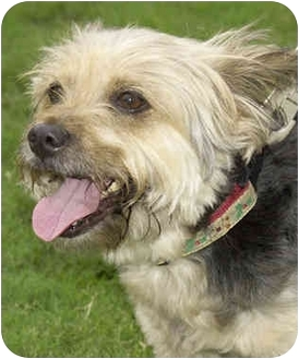 Skye Terrier Dog for adoption in Marina del Rey, California - Lucy