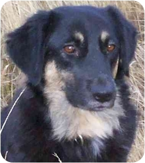 Border Collie/German Shepherd Dog Mix Dog for adoption in Denver, Colorado - Guinnie