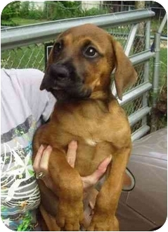 Boxer/Rottweiler Mix Puppy for adoption in Kingwood, Texas - Boxer Babies