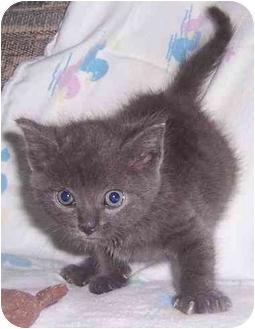 Domestic Shorthair Kitten for adoption in Oklahoma City, Oklahoma - Dominic