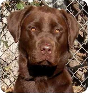 Labrador Retriever Dog for adoption in El Segundo, California - Cocoa