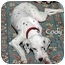 Photo 1 - Dalmatian Puppy for adoption in Mandeville Canyon, California - Cody
