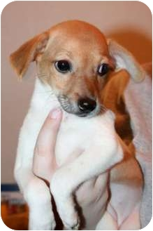 Chihuahua/Dachshund Mix Puppy for adoption in Astoria, New York - Elsie