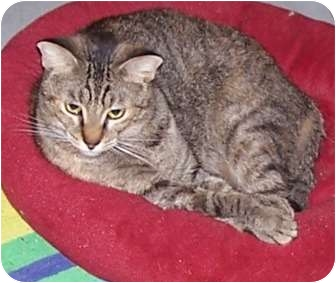 American Shorthair Cat for adoption in Huffman, Texas - Lady Emily