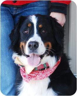 Bernese Mountain Dog Dog for adoption in Mount Gilead, Ohio - Jacob