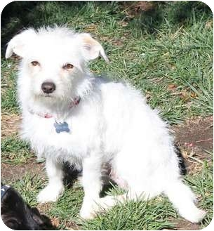Maltese/Terrier (Unknown Type, Small) Mix Dog for adoption in Temecula, California - Sammy