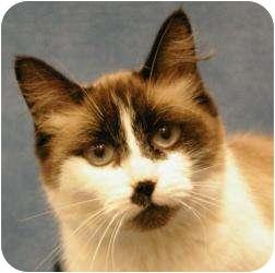 Snowshoe Cat for adoption in Sacramento, California - Sweet Pea