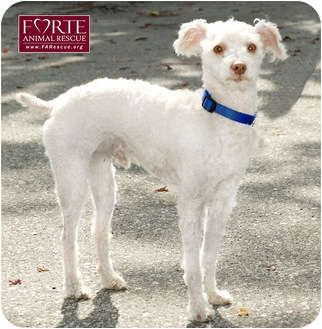 Bedlington Terrier/Poodle (Miniature) Mix Dog for adoption in Marina del Rey, California - Fernando