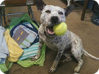 Australian Cattle Dog Dog for adoption in Greenfield, Indiana - Cookie
