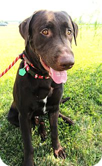Labrador Retriever Mix Dog for adoption in Lewisville, Indiana - Buckie