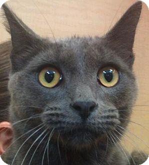 Russian Blue Cat for adoption in Modesto, California - Santino