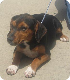 Beagle/Labrador Retriever Mix Puppy for adoption in Newberry, South Carolina - Ollie