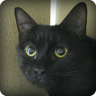Domestic Shorthair Cat for adoption in Weatherford, Texas - Carmella