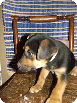 German Shepherd Dog Mix Puppy for adoption in Morgantown, West Virginia - Abby Cadabby