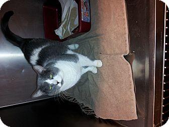 Domestic Shorthair Cat for adoption in bridgeport, Connecticut - Miss Piggy