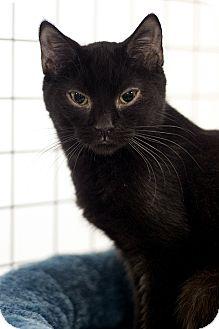 Domestic Shorthair Kitten for adoption in london, Ontario - Jen