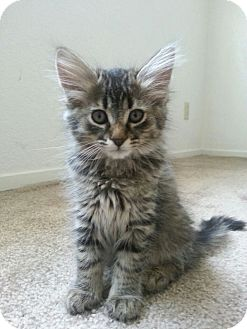 Domestic Mediumhair Kitten for adoption in Yuba City, California - Delilah