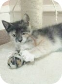 Calico Kitten for adoption in Horsham, Pennsylvania - Lee Lee