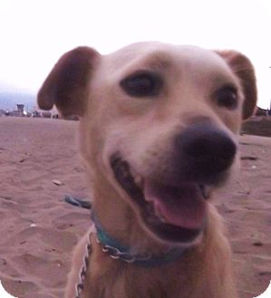 Labrador Retriever Mix Dog for adoption in El Cajon, California - RON, a very special dog