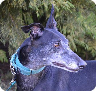 Greyhound Dog for adoption in Portland, Oregon - Super