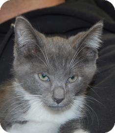 Domestic Shorthair Kitten for adoption in Brooklyn, New York - Santa