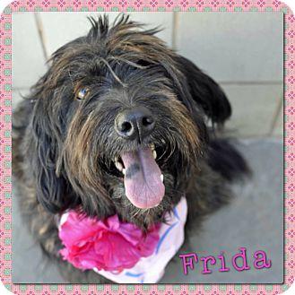 Giant Schnauzer Mix Dog for adoption in Corpus Christi, Texas - Frida
