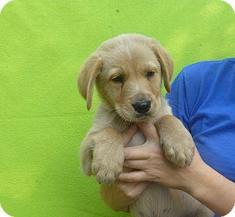 Golden Retriever/Labrador Retriever Mix Puppy for adoption in Oviedo, Florida - Riley