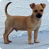 Adopt A Pet :: 'PARSLEY' - Brooksville, FL