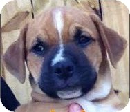 Pit Bull Terrier Puppy for adoption in Gainesville, Florida - Maple