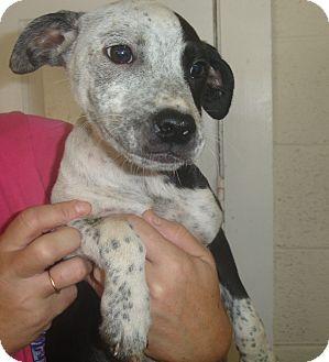 Labrador Retriever/Pointer Mix Puppy for adoption in Old Bridge, New Jersey - Rabiah