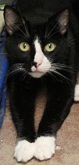 Domestic Shorthair Cat for adoption in Savannah, Missouri - Roger
