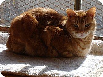 Domestic Shorthair Cat for adoption in Novato, California - Julius