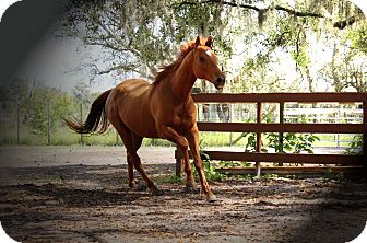 Thoroughbred for adoption in Riverview, Florida - Monarch