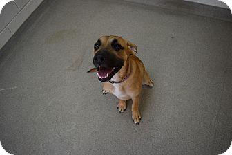 Shepherd (Unknown Type)/Boxer Mix Dog for adoption in Bucyrus, Ohio - Buddy Boy