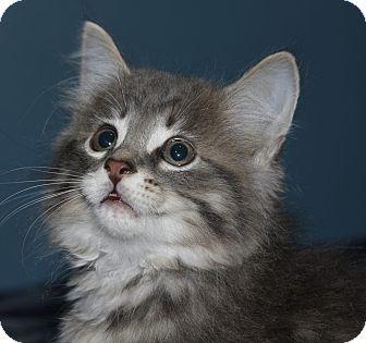 Domestic Longhair Kitten for adoption in Hamilton., Ontario - larry