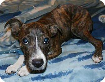 Pit Bull Terrier Mix Puppy for adoption in Seattle, Washington - Sabina