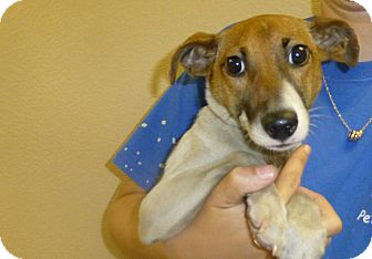 Jack Russell Terrier Mix Puppy for adoption in Oviedo, Florida - Gabe