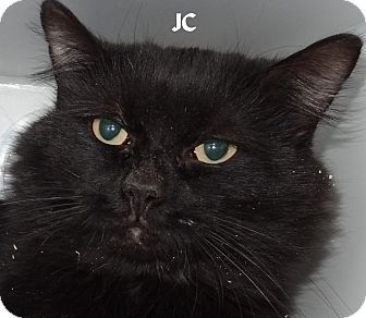 Domestic Longhair Cat for adoption in Lapeer, Michigan - JC--BLACK CATS RULE!