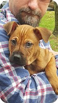 Shepherd (Unknown Type)/Boxer Mix Puppy for adoption in Jerseyville, Illinois - Ariel