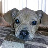 Adopt A Pet :: Nuka - Bellevue, WA