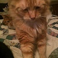 Domestic Longhair Cat for adoption in Montreal, Quebec - Honey Bee