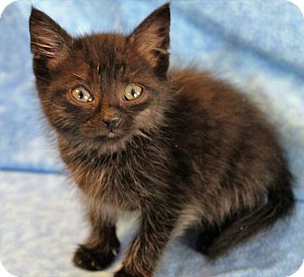 Domestic Shorthair Kitten for adoption in Greensboro, North Carolina - Hayden