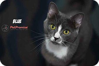 Domestic Shorthair Cat for adoption in Columbus, Ohio - Blue