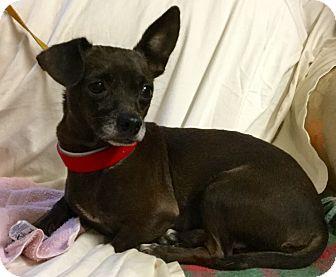 Dachshund/Chihuahua Mix Dog for adoption in Phoenix, Arizona - Sparky