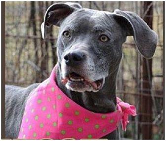 Weimaraner/Weimaraner Mix Dog for adoption in Tipp City, Ohio - Sheba