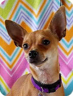 Chihuahua Mix Dog for adoption in Allentown, Pennsylvania - Mojito